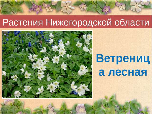 Растения Нижегородской области Ветреница лесная