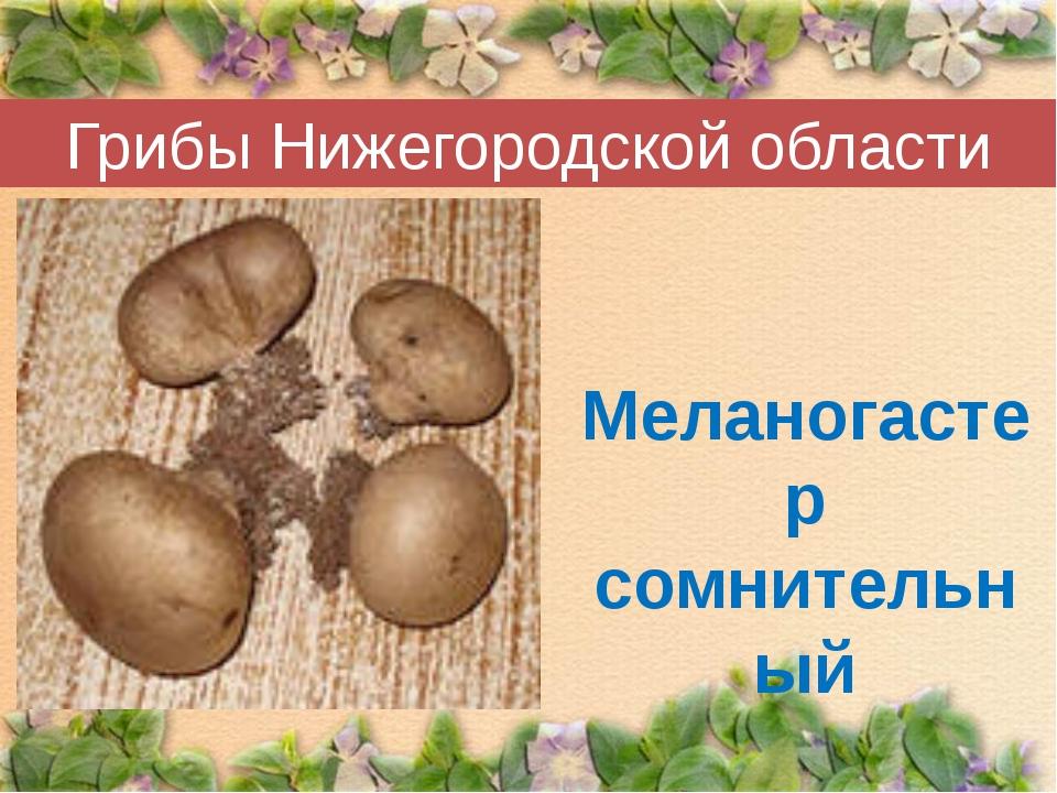 Грибы Нижегородской области Меланогастер сомнительный