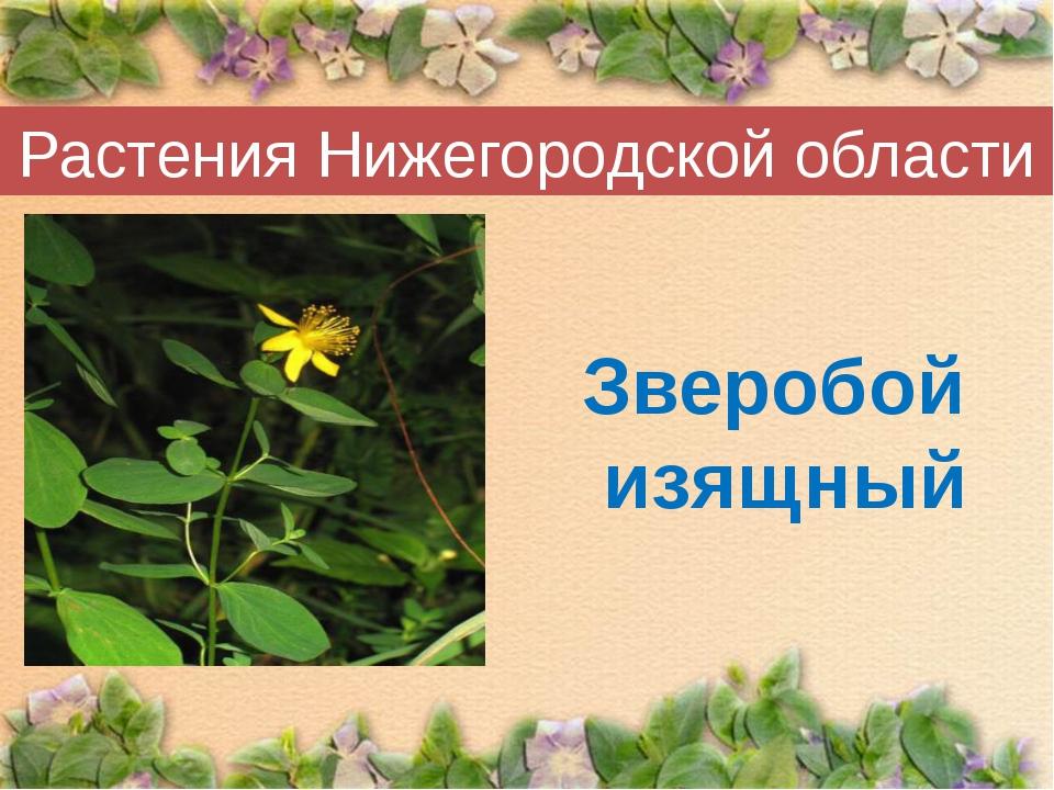 Растения Нижегородской области Зверобой изящный