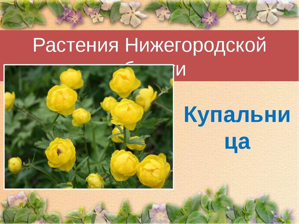 Растения Нижегородской области Купальница