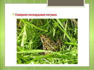Северная леопардовая лягушка