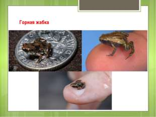 Горная жабка