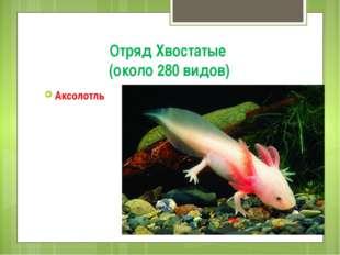 Отряд Хвостатые (около 280 видов) Аксолотль