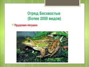 Отряд Бесхвостые (более 2000 видов) Прудовая лягушка