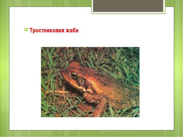 Тростниковая жаба