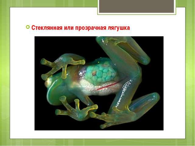 Стеклянная или прозрачная лягушка