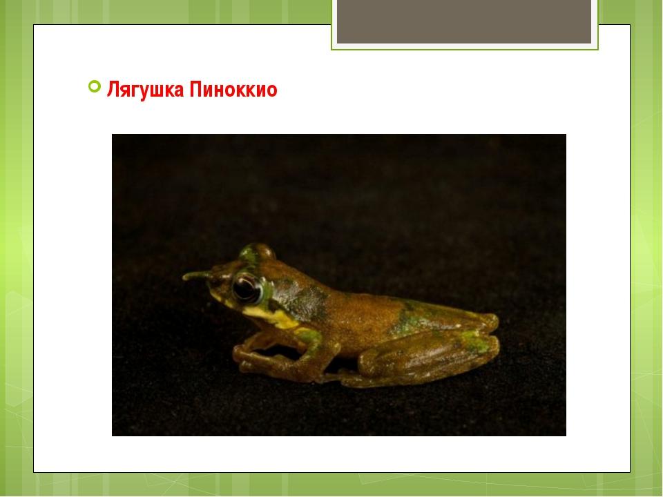 Лягушка Пиноккио