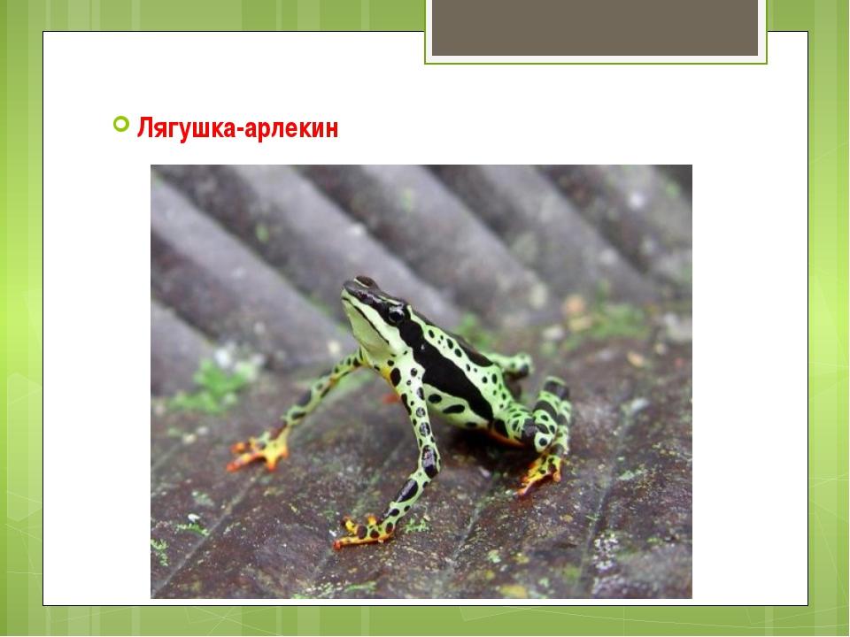 Лягушка-арлекин