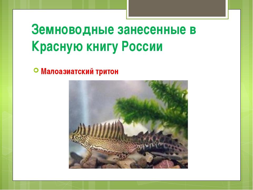 Земноводные занесенные в Красную книгу России Малоазиатский тритон