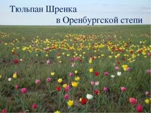 Тюльпан Шренка в Оренбургской степи