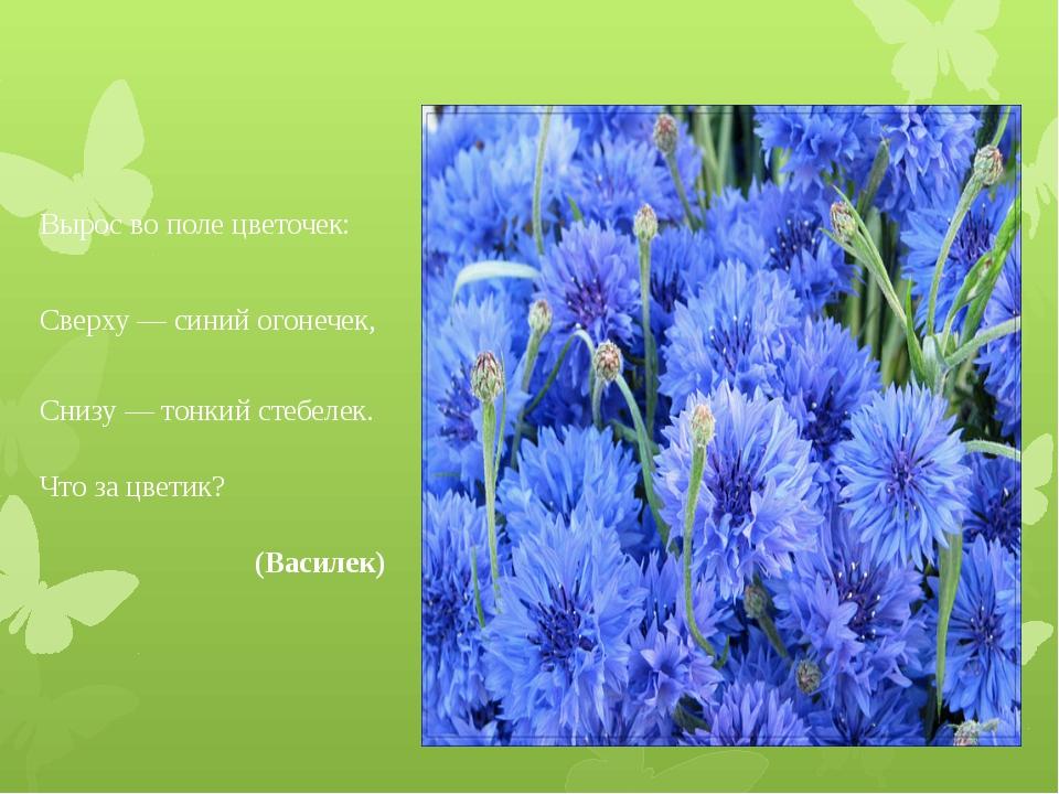 Вырос во поле цветочек: Сверху — синий огонечек, Снизу — тонкий стебелек. Чт...