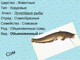Сом Царство : Животные Тип : Хордовые Класс : Лучепёрые рыбы Отряд : Сомообра