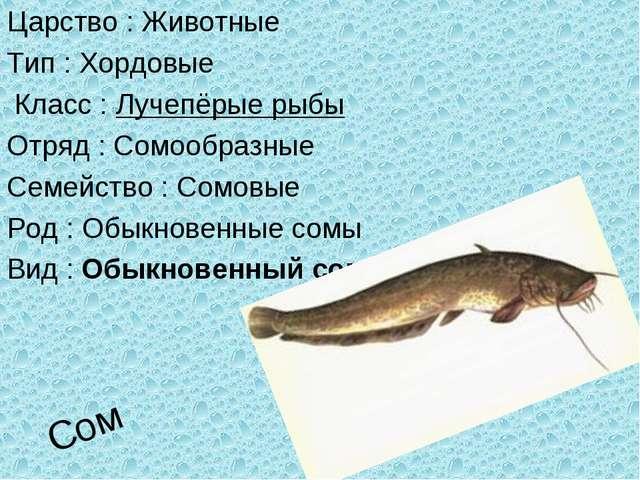 Сом Царство : Животные Тип : Хордовые Класс : Лучепёрые рыбы Отряд : Сомообра...