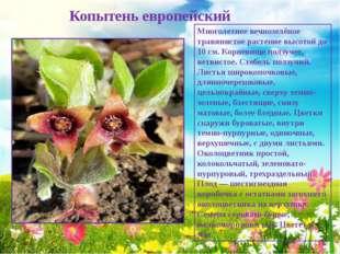 Копытень европейский Многолетнее вечнозелёное травянистое растение высотой д