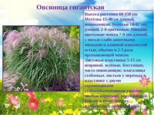 Овсяница гигантская Высота растения 60-150 см. Метёлка 15-40 см длиной, пони