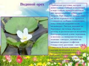 Водяной орех Однолетнее растение, которое живет в воде. Гибкий плавающий в в