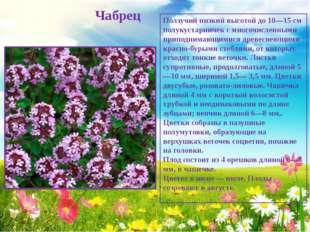Чабрец Ползучий низкий высотой до 10—15 см полукустарничек с многочисленными