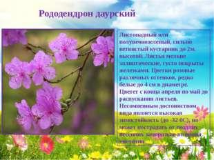 Рододендрон даурский Листопадный или полувечнозеленый, сильно ветвистый куст