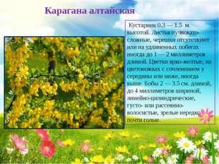 Карагана алтайская Кустарник 0.3 — 1.5 м. высотой. Листья пучковато-сложные