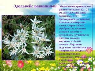 Эдельвейс равнинный Многолетнее травянистое растение высотой 12—25 см, листь