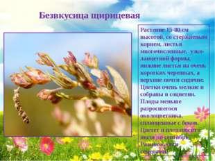 Безвкусица щирицевая Растение 15-80 см высотой, со стержневым корнем, листья
