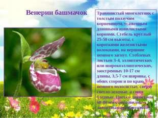 Венерин башмачок Травянистый многолетник с толстым ползучим корневищем, усаж