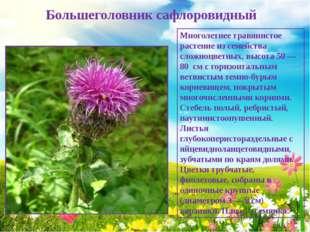 Большеголовник сафлоровидный Многолетнее травянистое растение из семейства с