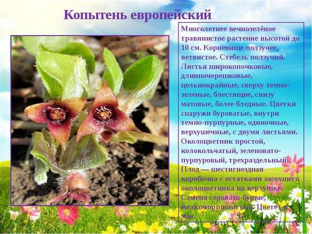 Копытень европейский Многолетнее вечнозелёное травянистое растение высотой д...