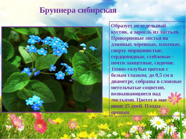 Бруннера сибирская Образует не отдельный кустик, а заросль из листьев. Прико...
