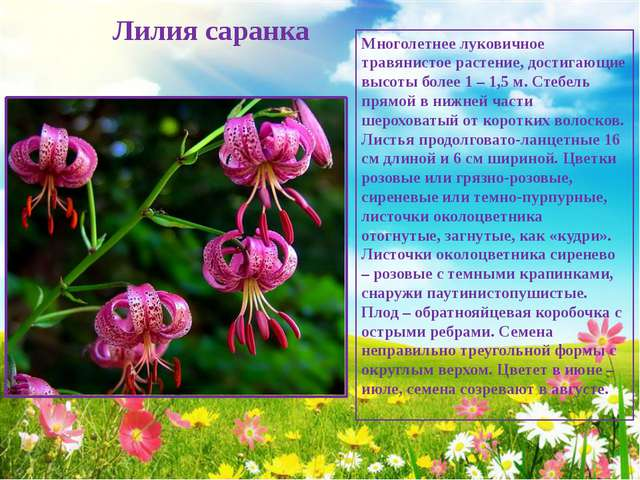 Лилия саранка Многолетнее луковичное травянистое растение, достигающие высот...