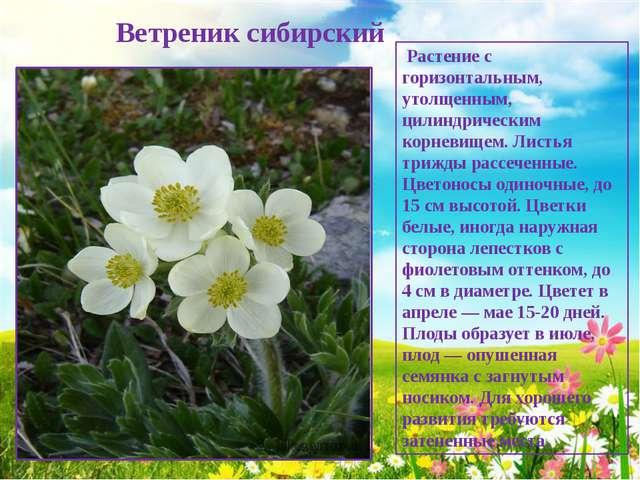 Ветреник сибирский Растение с горизонтальным, утолщенным, цилиндрическим кор...