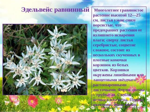 Эдельвейс равнинный Многолетнее травянистое растение высотой 12—25 см, листь...