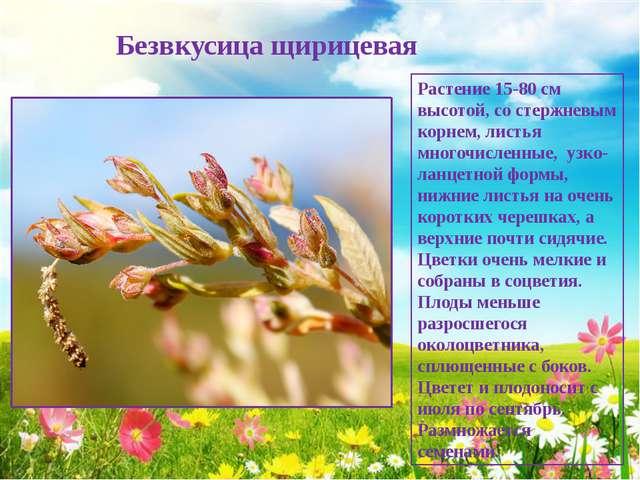 Безвкусица щирицевая Растение 15-80 см высотой, со стержневым корнем, листья...