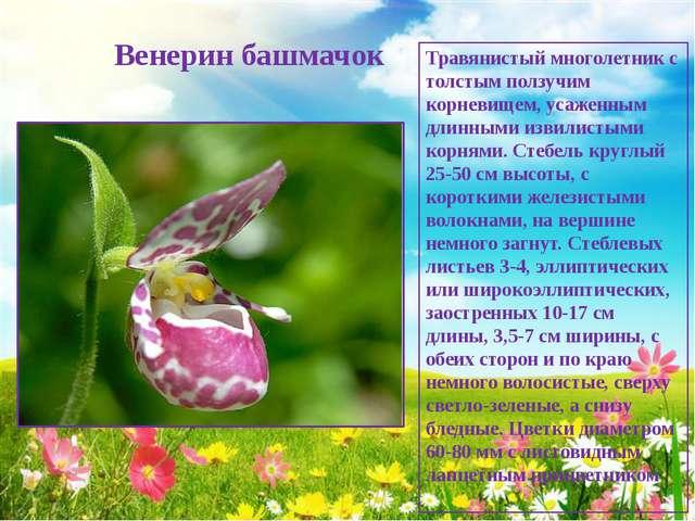 Венерин башмачок Травянистый многолетник с толстым ползучим корневищем, усаж...