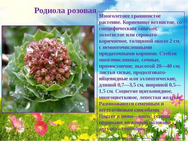 Родиола розовая Многолетнее травянистое растение. Корневище ветвистое, со сп...