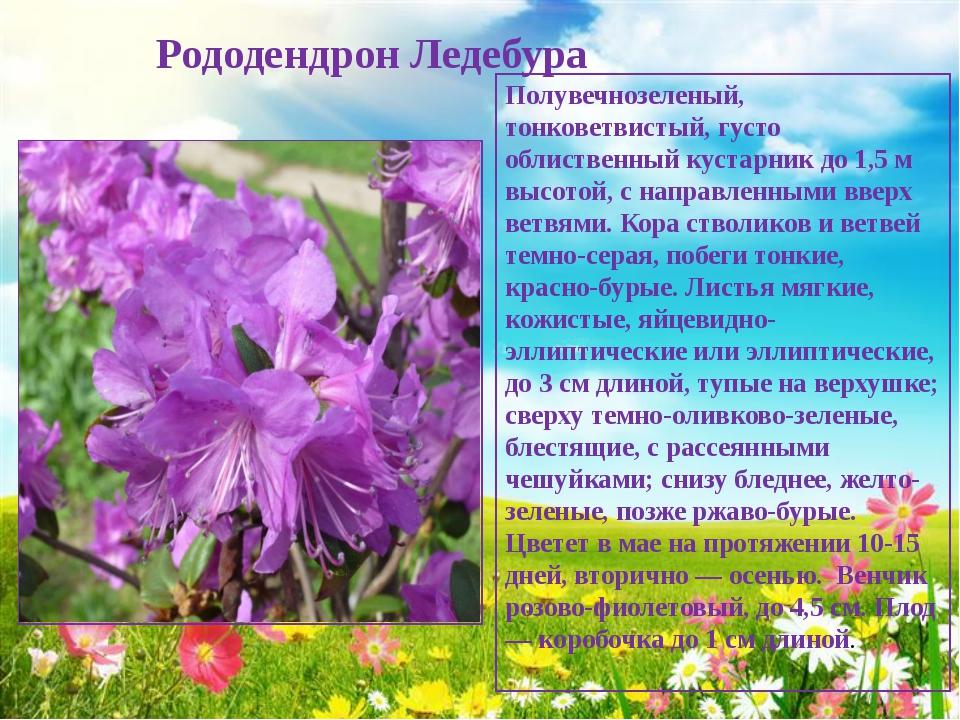 Рододендрон Ледебура Полувечнозеленый, тонковетвистый, густо облиственный ку...