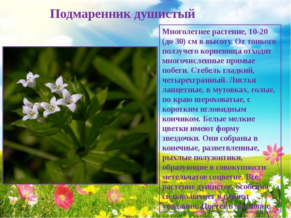 Подмаренник душистый Многолетнее растение, 10-20 (до 30) см в высоту. От тон...