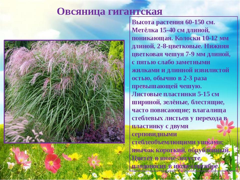 Овсяница гигантская Высота растения 60-150 см. Метёлка 15-40 см длиной, пони...