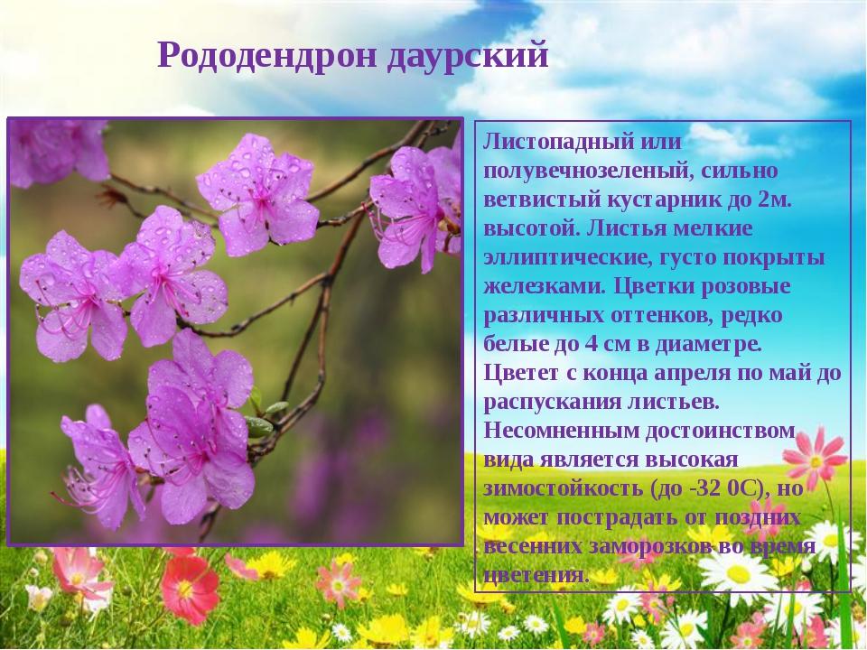 Рододендрон даурский Листопадный или полувечнозеленый, сильно ветвистый куст...