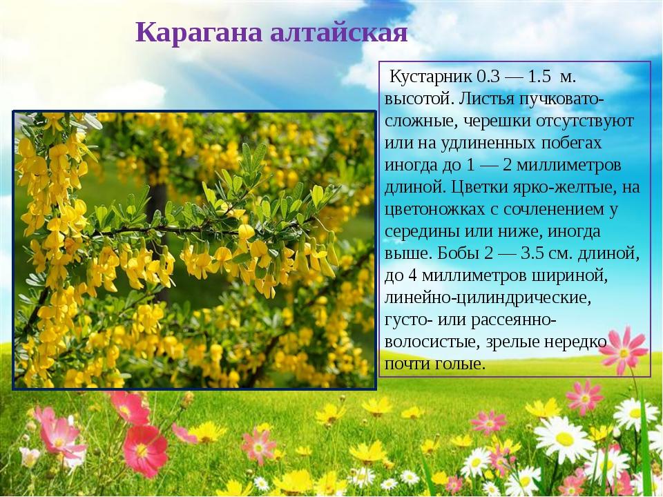 Карагана алтайская Кустарник 0.3 — 1.5 м. высотой. Листья пучковато-сложные...