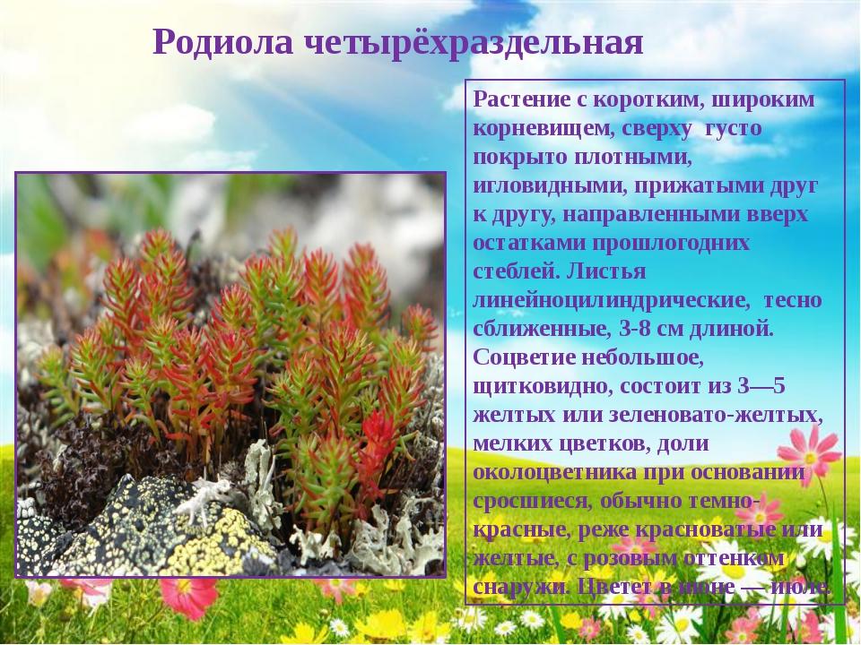 Родиола четырёхраздельная Растение с коротким, широким корневищем, сверху гу...