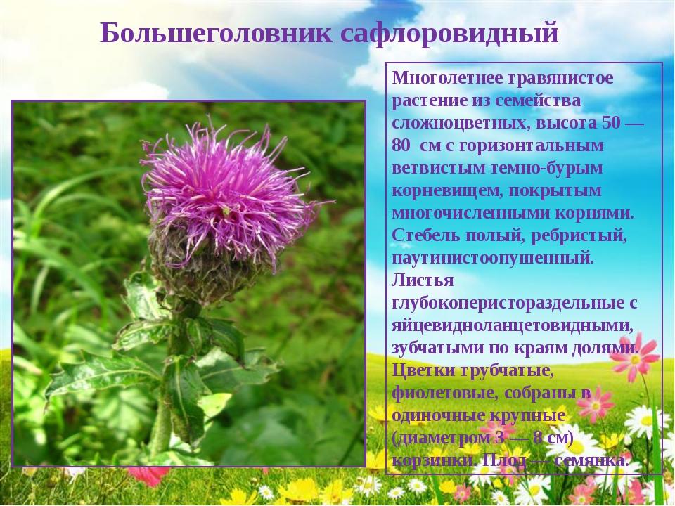 Большеголовник сафлоровидный Многолетнее травянистое растение из семейства с...