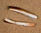 Морской моллюск зарывается в дно с помощью вакуумного насоса