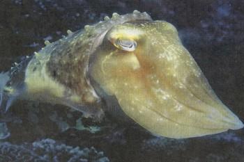 Каракатица 5 букв