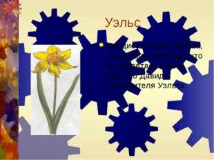 Уэльс Нарцисс-символ Уэльса, существует поверье, что он зацветает в День Свят
