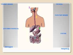 1 2 3 4 7 5 6 толстая кишка тонкая кишка печень ротовая полость глотка желудо