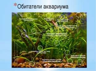 Обитатели аквариума Типичными аквариумными растениями являются: роголистник,