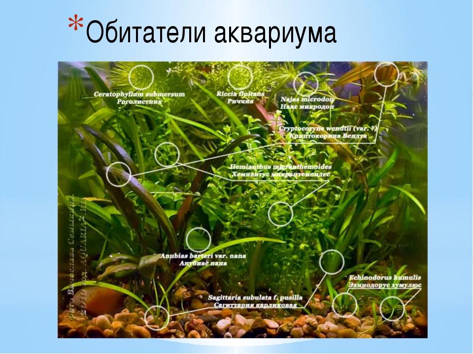 Обитатели аквариума Типичными аквариумными растениями являются: роголистник,...