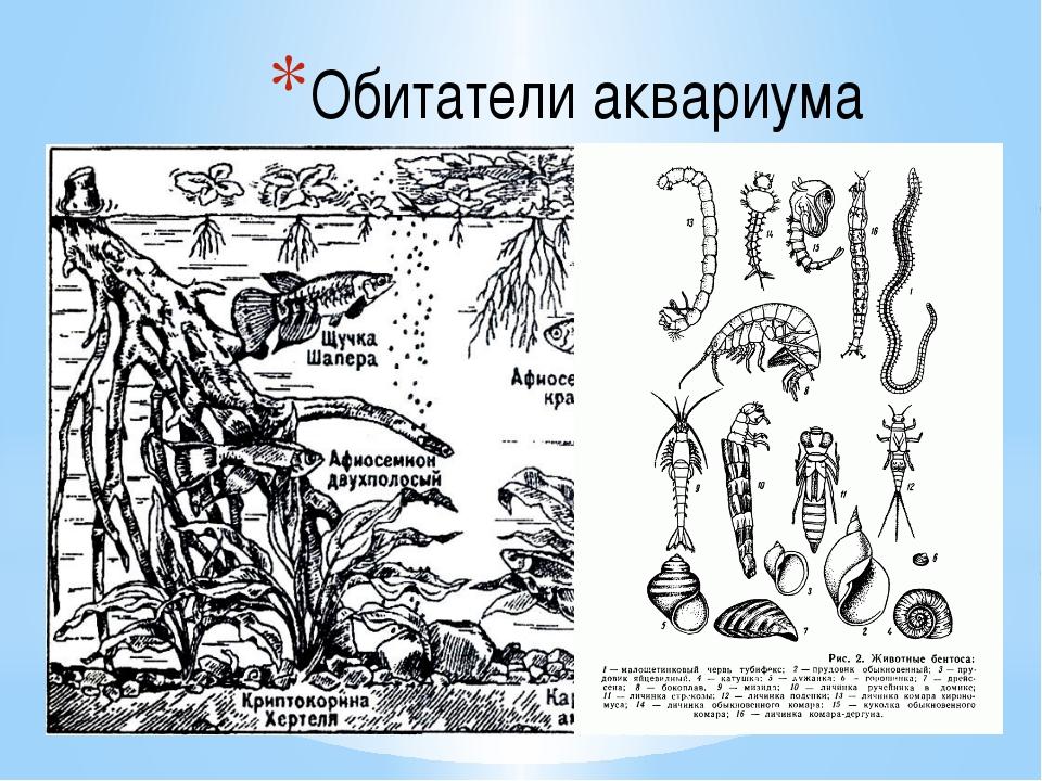 Обитатели аквариума Любителям – аквариумистам известно большое число видов ак...