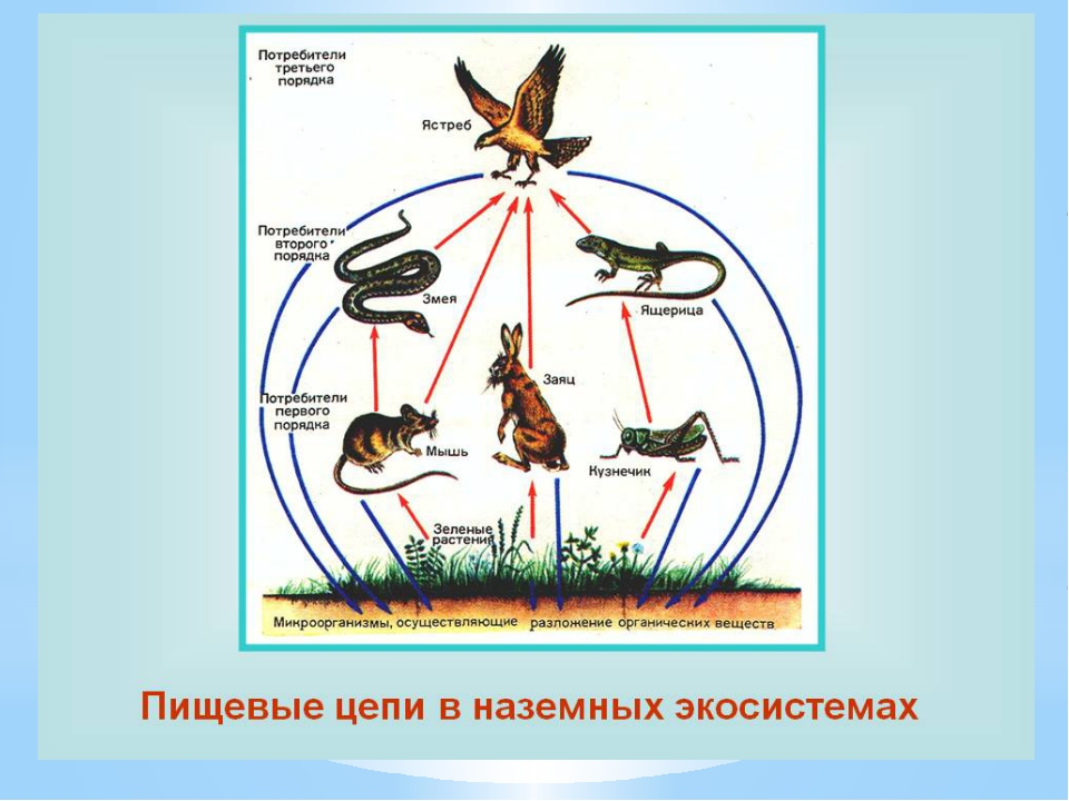 ПИЩЕВЫЕ ЦЕПИ Группа видов растений , животных, грибов и микроорганизмов, связ...